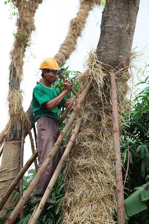 """""""Cụ cây"""" Kim Mã được chăm sóc bằng thảo dược và thuốc quý - 5"""