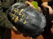 """Tin tức trong ngày - """"Cụ"""" rùa 16 kg được thả về tự nhiên"""