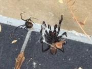 Nhện phễu khổng lồ cực độc bị nhện lưng đỏ đánh te tua