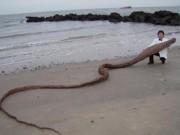 """Phi thường - kỳ quặc - """"Quái vật biển"""" khổng lồ bí ẩn dạt bờ Nhật Bản"""