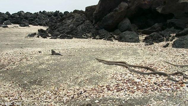 Nghẹt thở với cảnh đàn rắn đói truy sát cự đà - 1