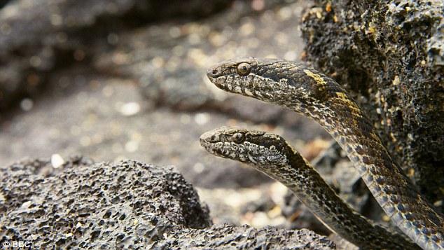 Nghẹt thở với cảnh đàn rắn đói truy sát cự đà - 3