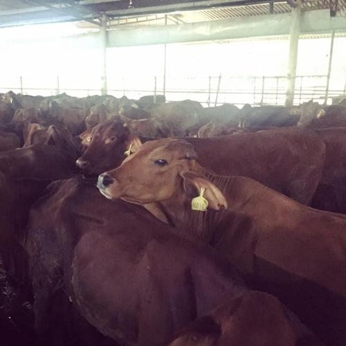 Phan Anh mua 1.000 con bò giống cho bà con miền Trung - 2