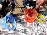 Thị trường - Tiêu dùng - Thương lái Trung Quốc lại mua bất thường cá tra