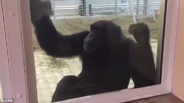 Tinh tinh tự lau chuồng hàng ngày giúp nhân viên sở thú - 1