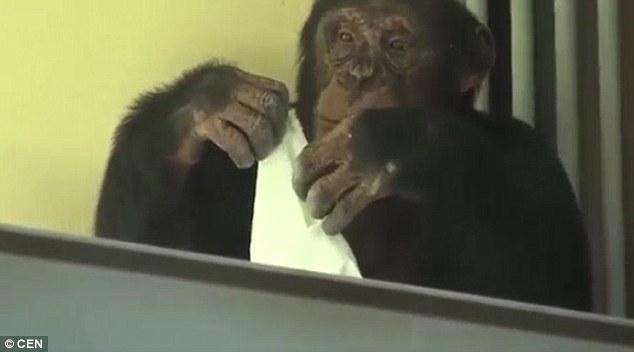 Tinh tinh tự lau chuồng hàng ngày giúp nhân viên sở thú - 3