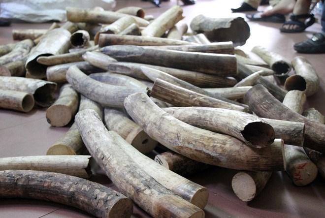 Nghiền nhỏ, đốt thành tro 2 tấn ngà voi, 70 kg sừng tê giác - 1