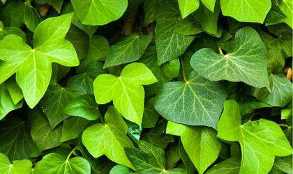 Bí mật lá thường xuân trong điều trị ho - 1