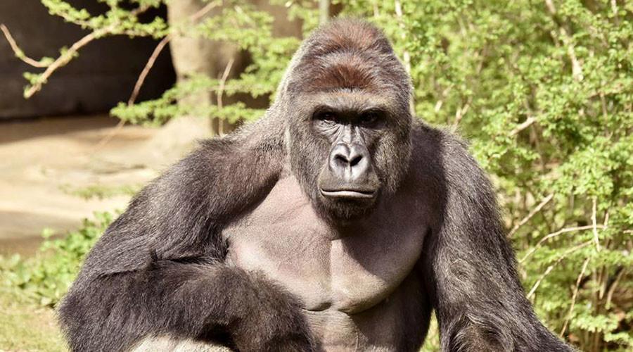 11.000 người Mỹ bầu khỉ đột đã chết làm tổng thống - 1