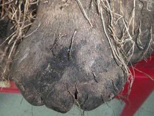 Kỳ lạ củ khoai khổng lồ 23 kg, có hình thù kỳ dị ở Huế - 3
