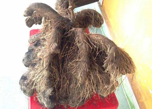 Kỳ lạ củ khoai khổng lồ 23 kg, có hình thù kỳ dị ở Huế - 1