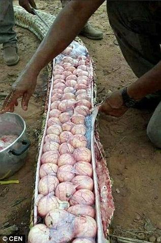 Mổ trăn khổng lồ thấy trăm quả trứng trong bụng - 1