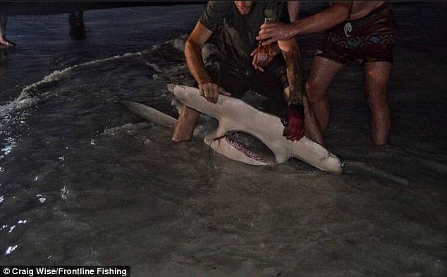 """Ngư dân Úc câu được cá mập đầu búa """"khủng"""" nhất thế giới? - 2"""