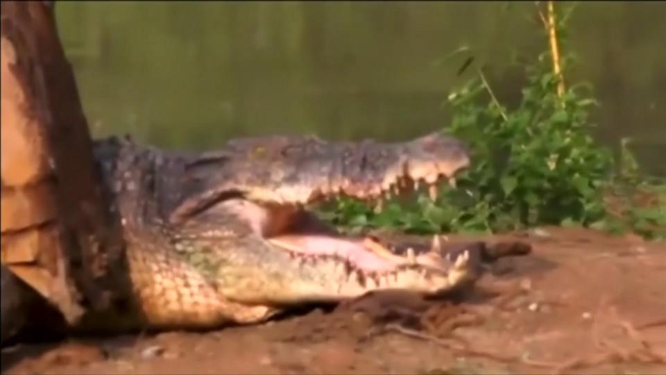 Phát hiện cá sấu quái vật nặng 1 tấn lẩn trốn trong kênh Sri Lanka - 4