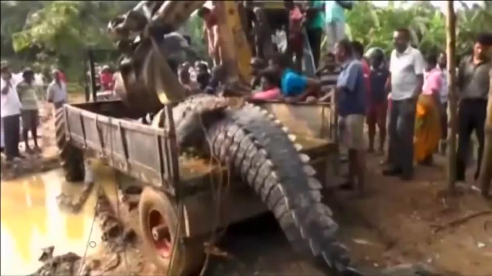 Phát hiện cá sấu quái vật nặng 1 tấn lẩn trốn trong kênh Sri Lanka - 2
