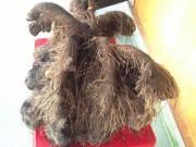 Tin tức trong ngày - Kỳ lạ củ khoai khổng lồ 23 kg, có hình thù kỳ dị ở Huế