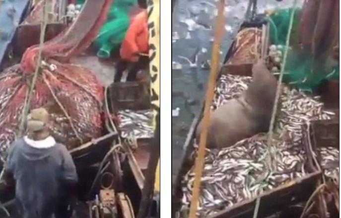 Quăng lưới bắt cá thu về một con sư tử biển 3 tạ - 1