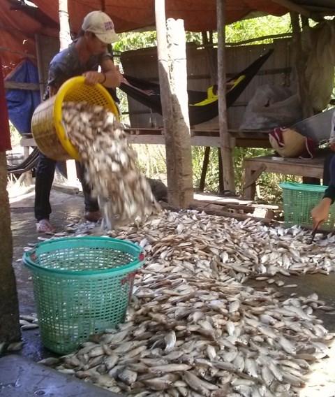Khấm khá từ cá linh mùa lũ muộn - 9