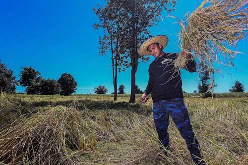 """""""Chán"""" đánh đấm, """"Thánh Muay Thái"""" về quê gặt lúa - 2"""