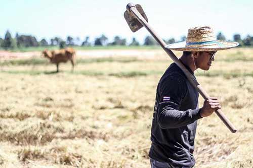 """""""Chán"""" đánh đấm, """"Thánh Muay Thái"""" về quê gặt lúa - 1"""