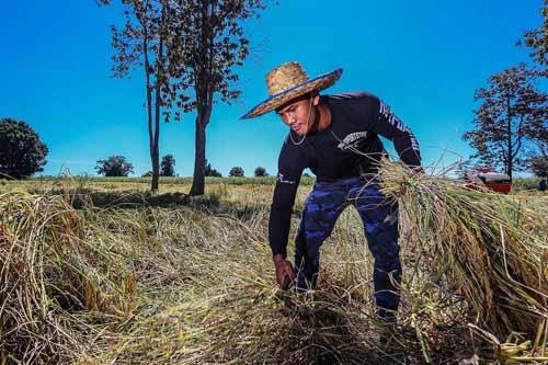 """""""Chán"""" đánh đấm, """"Thánh Muay Thái"""" về quê gặt lúa - 5"""