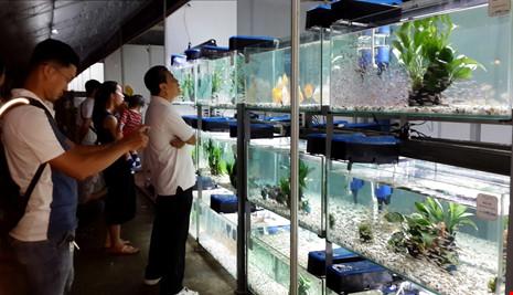 TP.HCM xuất khẩu châu Âu hơn 12 triệu con cá cảnh - 1