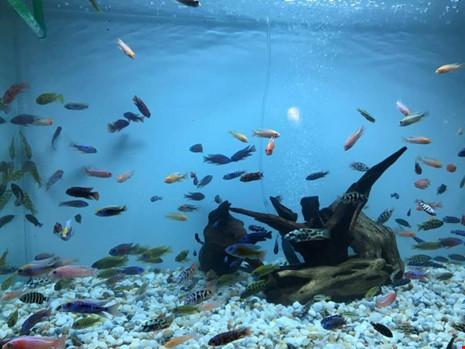 TP.HCM xuất khẩu châu Âu hơn 12 triệu con cá cảnh - 5