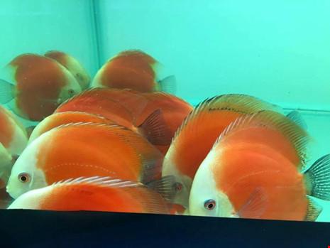 TP.HCM xuất khẩu châu Âu hơn 12 triệu con cá cảnh - 8