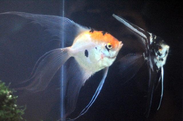 Tận thấy cá ông tiên, kim cương xanh giữa Sài Gòn - 1
