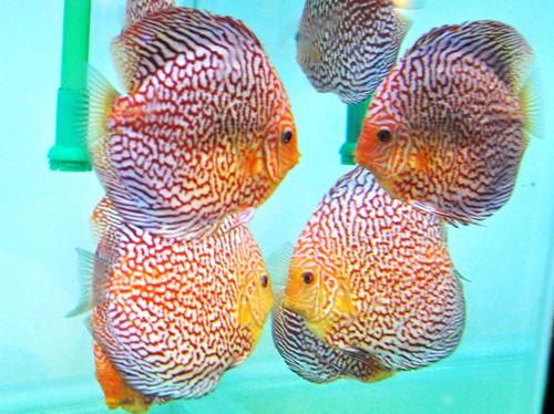 Tận thấy cá ông tiên, kim cương xanh giữa Sài Gòn - 5