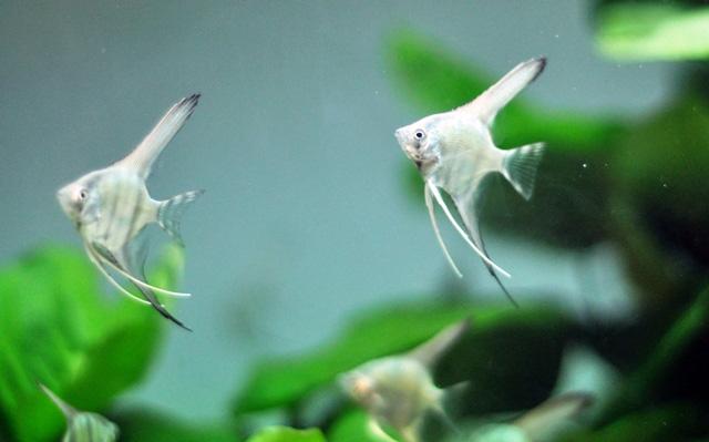 Tận thấy cá ông tiên, kim cương xanh giữa Sài Gòn - 11
