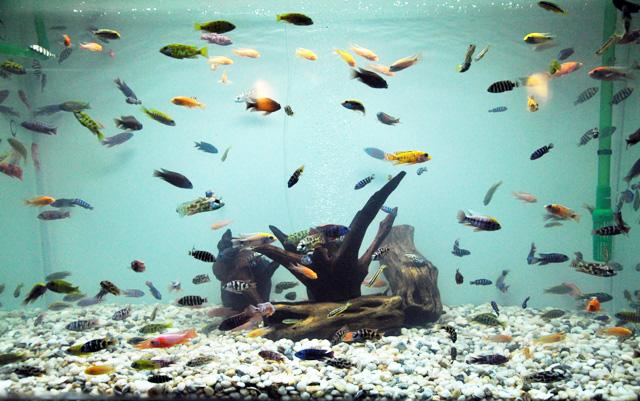 Tận thấy cá ông tiên, kim cương xanh giữa Sài Gòn - 16
