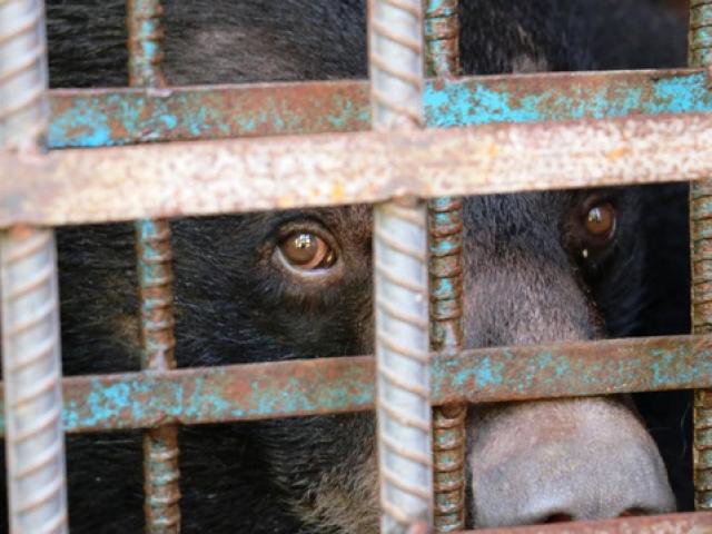Hy hữu chuyện 4 chú gấu muốn tự tử tại Gia Lai
