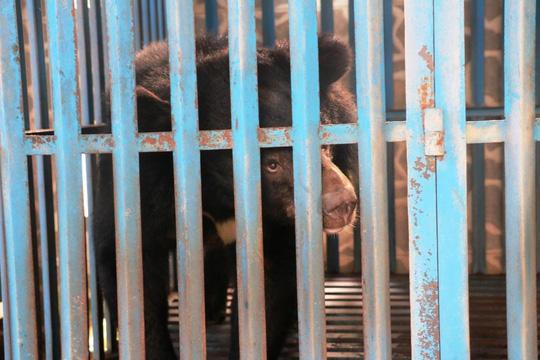 Hy hữu chuyện 4 chú gấu muốn tự tử tại Gia Lai - 1