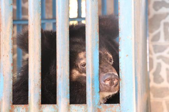 Hy hữu chuyện 4 chú gấu muốn tự tử tại Gia Lai - 2