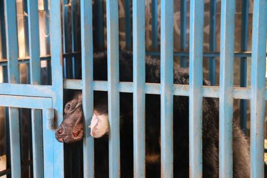 Hy hữu chuyện 4 chú gấu muốn tự tử tại Gia Lai - 3