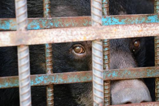 Hy hữu chuyện 4 chú gấu muốn tự tử tại Gia Lai - 4