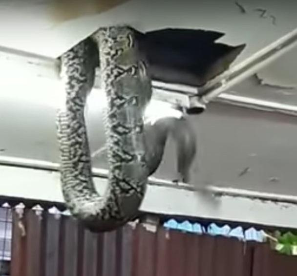 Đang ăn tối ở nhà hàng bỗng thấy rắn khổng lồ trên đầu - 1