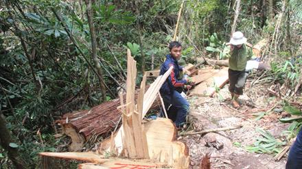 Vụ phá rừng pơ mu ở Quảng Nam: Kỷ luật nhiều cán bộ - 1