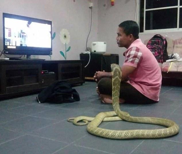 Chàng trai cưới rắn hổ mang khổng lồ làm vợ - 1