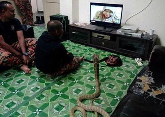 Chàng trai cưới rắn hổ mang khổng lồ làm vợ - 5