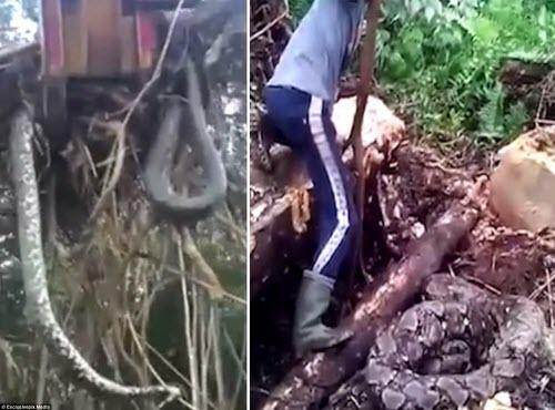 Nhổ cây, suýt té xỉu vì lôi lên cả một con trăn khổng lồ - 1