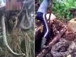 Nhổ cây, suýt té xỉu vì lôi lên cả một con trăn khổng lồ