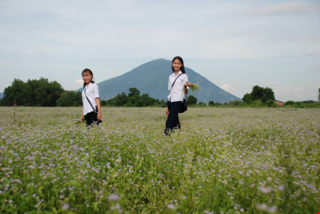 Đồng hoa dại đẹp lạ giữa lòng thành phố Tây Ninh - 4