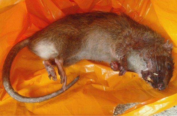 Chuột khổng lồ to như mèo khiến dân cư hoảng sợ - 3