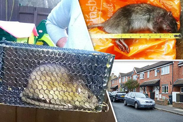 Chuột khổng lồ to như mèo khiến dân cư hoảng sợ - 1