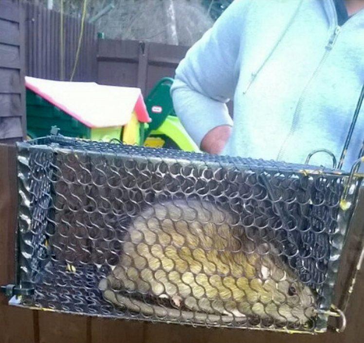 Chuột khổng lồ to như mèo khiến dân cư hoảng sợ - 2
