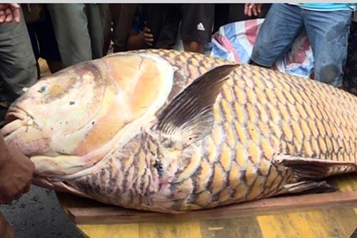 Ngư dân miền Tây bắt cá hô khổng lồ, bán hơn 300 triệu - 1