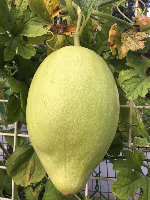 Phát thèm với vườn cây trái sai lúc lỉu của bà mẹ Việt kiều - 2
