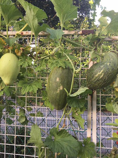 Phát thèm với vườn cây trái sai lúc lỉu của bà mẹ Việt kiều - 4